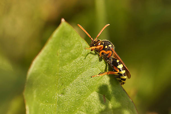 Nomada species - Wespbij onbekend