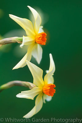 Narcissus 'Firebrand'. © Jo Whitworth