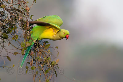 Parakeet (sp.), Keoladeo National Park, Bharatpur, India