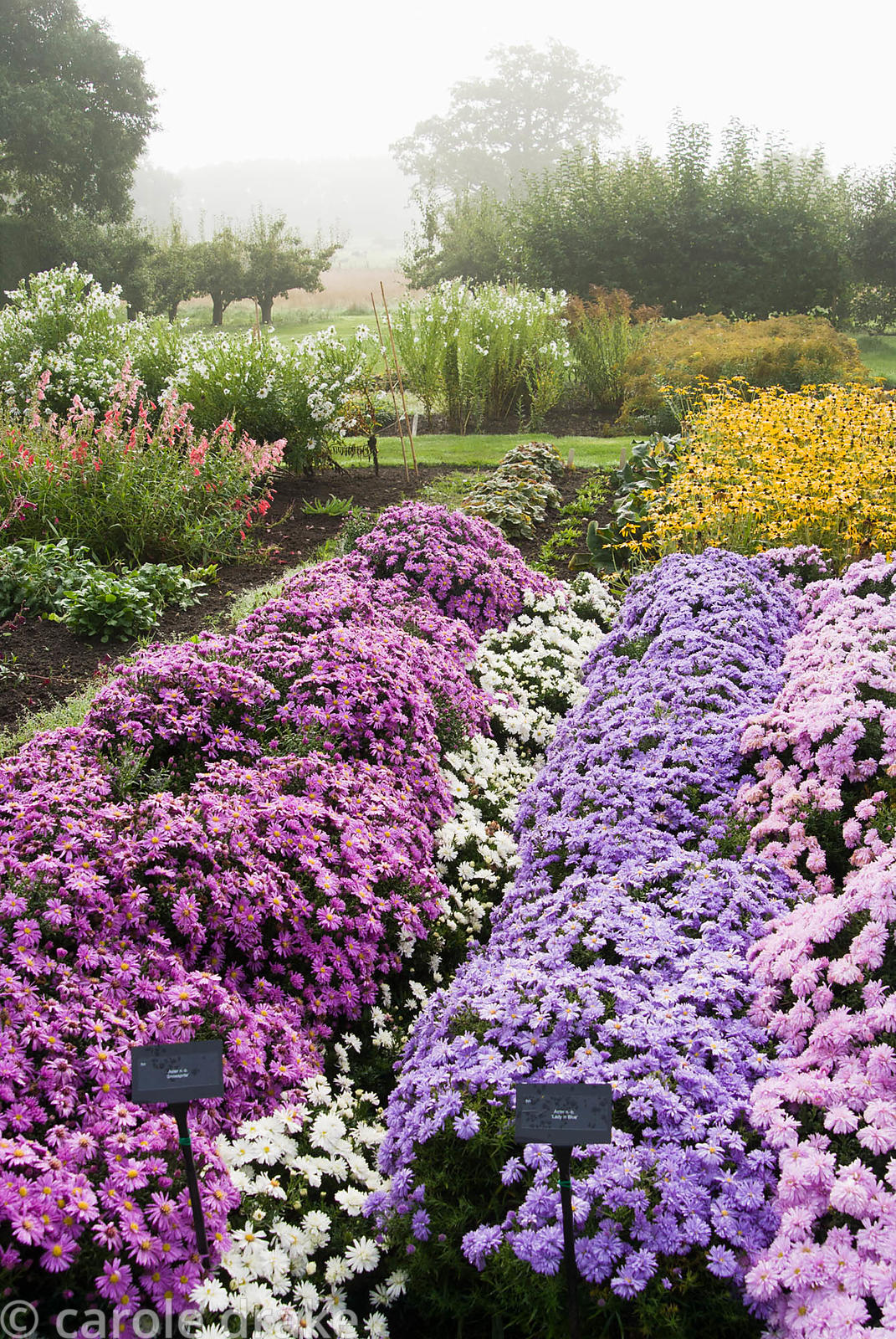 Lines of asters in stock beds with fruit trees behind and the misty landscape beyond. Waterperry Gardens, Wheatley, Oxfordshi...