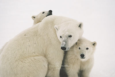 polarbearsowcubs