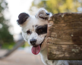 Happy White and Black Mixed Breed Dog Looking from Behind Log