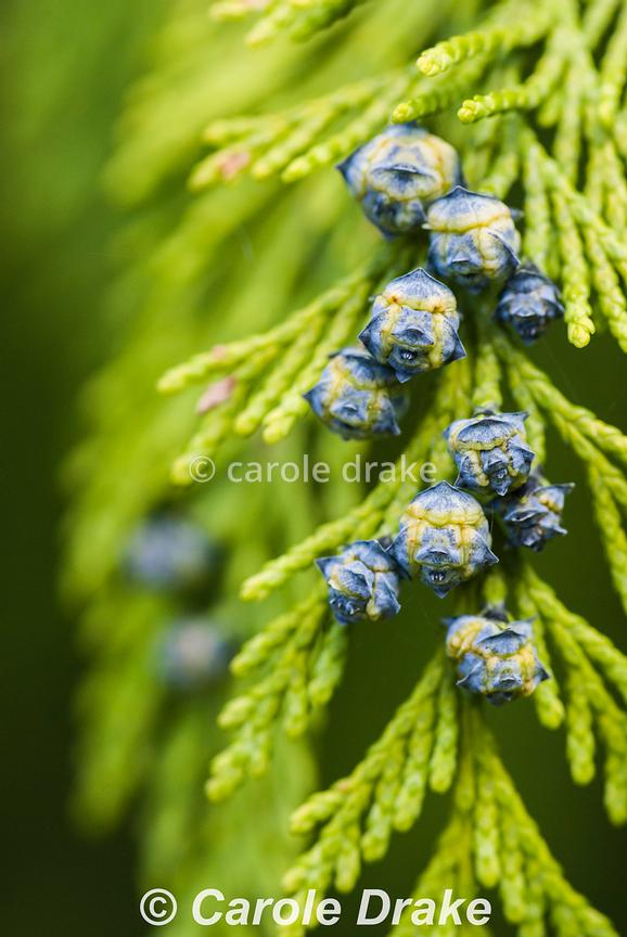 Chamaecyparis lawsoniana cultivar. Sir Harold Hillier Gardens/Hampshire County Council, Romsey, Hants, UK