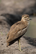 Water thick-knee, Burhinus vermiculatus, Lake Mburo National Park, Uganda
