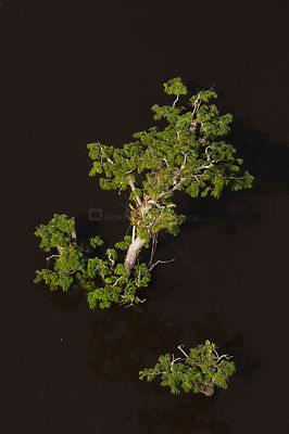 Trees growing in the lagoons of Cuyabeno Reserve seen from the air. Ecuador, June 2007.