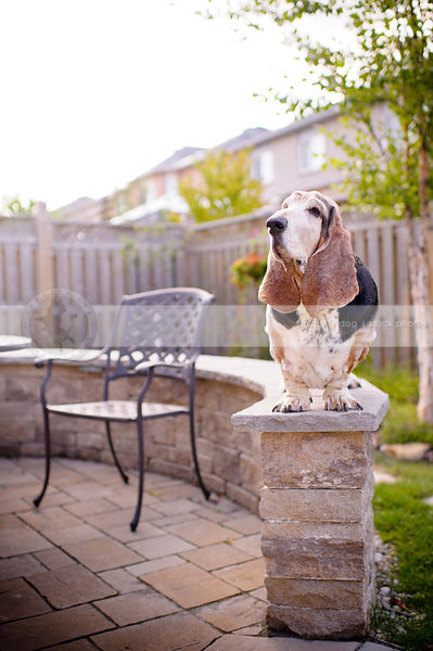 old basset hound dog posing on patio brick wall in yard
