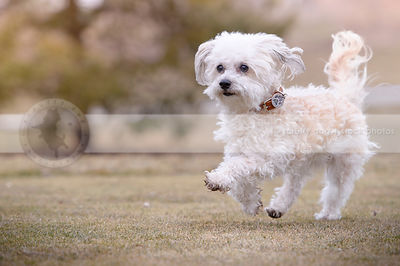 small cute white and cream dog running with minimal background