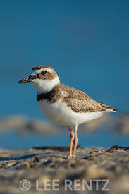 Wilson's Plover at Tigertail Beach Park