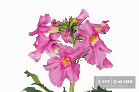 Chinese trumpet flower (incarvillea delavayi)  - Europe, Germany, Photo studio - digital