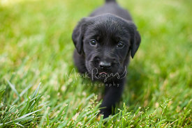 Young Black Lab Puppy Walks on Lawn toward Camera