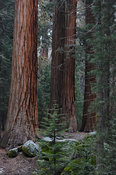 Grove of Young Sequoia Trees