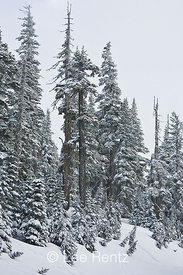 Subalpine forest during a snowstorm on Hurricane Ridge, Olympic National Park, Olympic Peninsula, Washington, USA, March, 200...