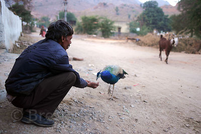 A man feeds a wild peacock by hand in Kharekhari village, Pushkar, Rajasthan, India