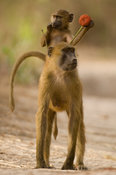 Guinea baboon with baby riding on its back (Papio papio), Makusutu, the Gambia