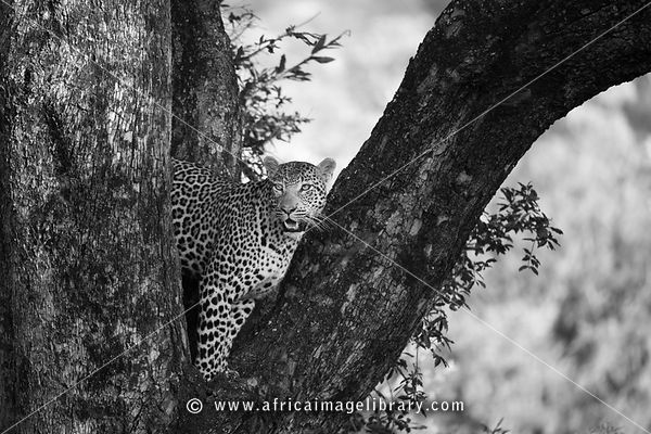 Leopard in a tree (Panthera pardus), Sabi Sands, Greater Kruger National Park, South Africa