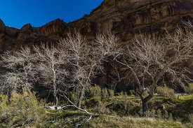 Bare Trees and Rock in Nine Mile Canyon