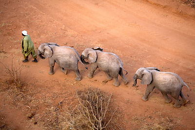 Aerial of orphaned elephants (Loxodonta africana) following a keeper while walking in Tsavo National Park. Near David Sheldri...
