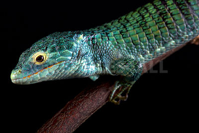 Bocourt's arboreal alligator lizard (Abronia vasconcelosii)