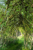 Woven living willow tunnel. Westonbury Mill Water Garden, Pembridge, Herefordshire, UK