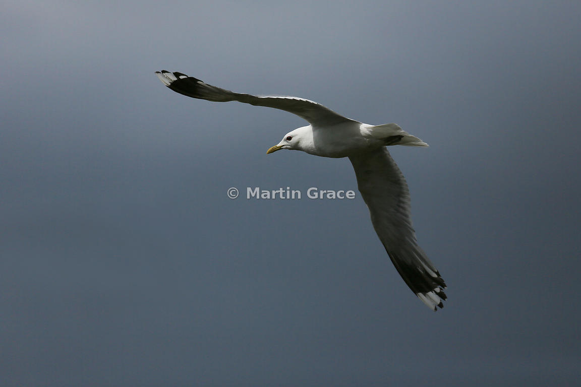 Common Gull (Mew Gull) (Larus canus) in flight, Lochindorb, Scottish Highlands