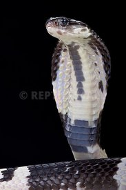 Black and white spitting cobra (Naja siamensis)