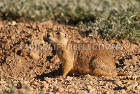 utahprairiedog_female_pose