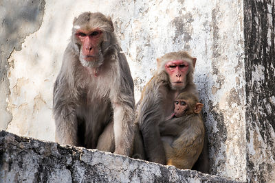 Red macaque monkey family, with a serious looking male, Budha Pushkar, Rajasthan, India
