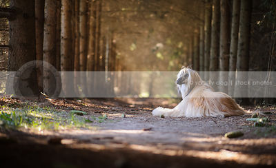 longhaired dog looking back lying in forest of pine trees