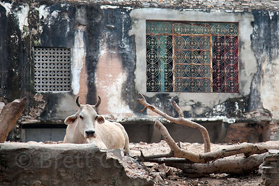 Cow in a rustic courtyard in Jaipur, Rajasthan, India