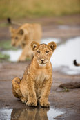 Lion cub (Panthero leo), Queen Elizabeth National Park, Uganda