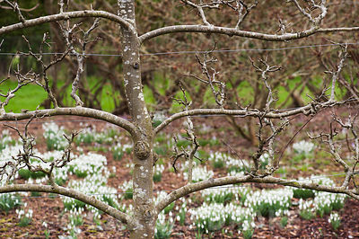 Naturalized snowdrops framed by espaliered apple tree. Ivy Croft, Ivington Green, Leominster, Herefordshire, UK