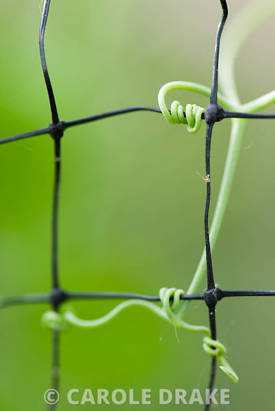 The delicate tendrils of sugarsnap peas clinging to garden netting
