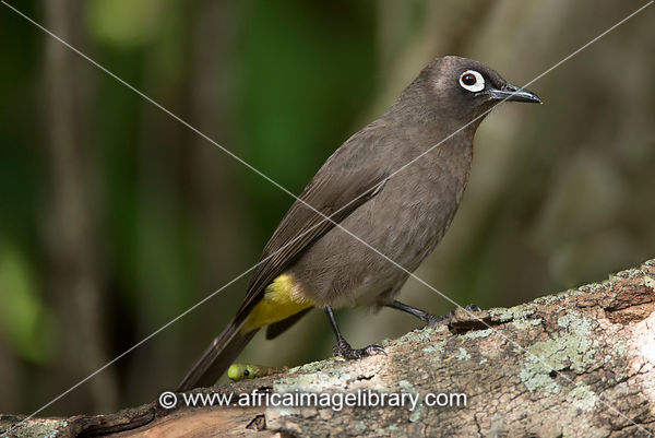 Cape bulbul, Pycnonotus capensis, Wilderness, South Africa