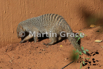 Banded Mongoose (Mungos mungo) foraging for insects, Chobe Marina Lodge, Kasane, Botswana