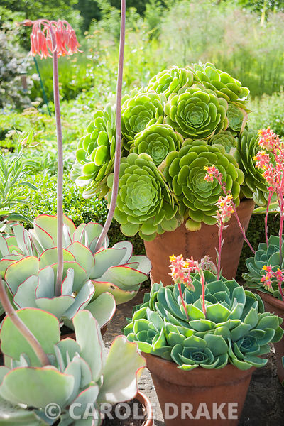 Group of succulents in pots including echeverias and aeoniums. Upper Tan House, Stansbatch, Herefordshire, UK