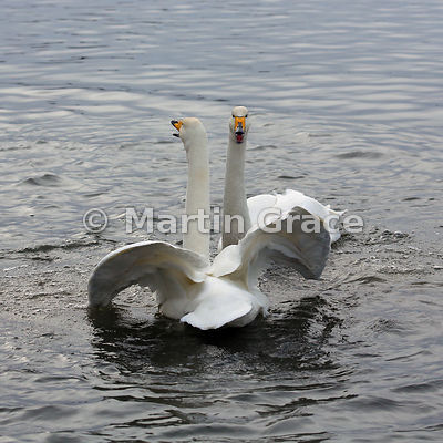 Pair of wild Whooper Swan (Cygnus cygnus) displaying at Tjornin City Pond, Reykjavik, Iceland, in late winter
