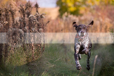 airborn brown speckled dog with ears running in meadow
