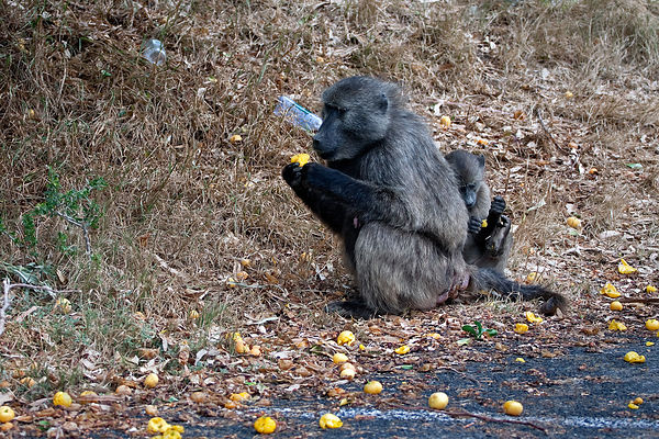 Chacma baboons eat fruit from a fruit tree near Simon's Town, South Africa. Fruit trees are a major draw, attracting baboons ...