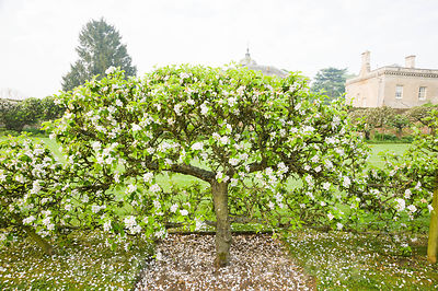 Espaliered apple tree in the Walled Garden. Rousham House, Bicester, Oxon, UK