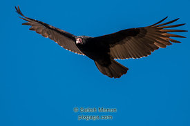 Turkey Vulture in flight, Alviso, CA, USA