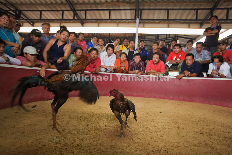 Sunday cockfight in Udon Thani, Thailand.