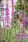 Lythrum salicaria 'Lady Sackville'. Bosvigo, Truro, Cornwall, UK