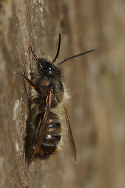 Osmia caerulescens at Knokke