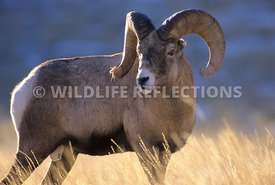 Bighorn in Golden Grass