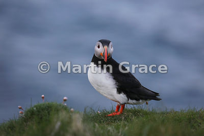 Atlantic Puffin (Fratercula arctica) on the cliff top at Sumburgh Head (RSPB), Mainland South, Shetland