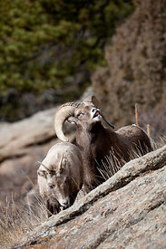 Bighorn Sheep_MG_6667