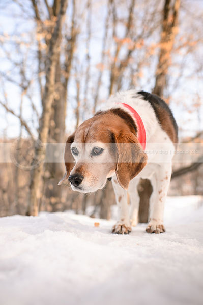 tired senior tricolored dog standing in winter setting