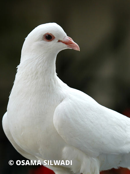 Birds of Palestine -The domestic pigeon
