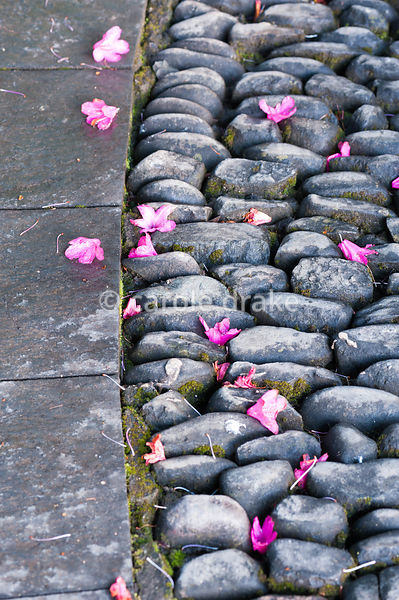 Fallen rhododendron flowers on slate and pebble hard landscaping on the Neptune Cascade. Holker Hall, Grange over Sands, Cumb...