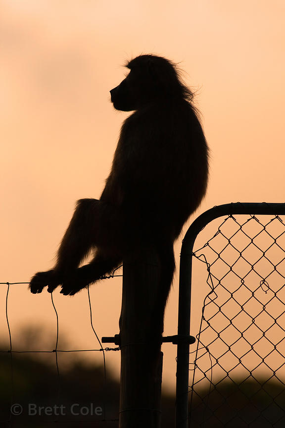 Chacma baboon from the Plateau Road troop is silhouetted while sitting on the fence that defines the boundary of the national...